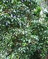 Pisonia umbellifera (5187738507).jpg