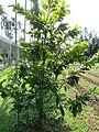 Pistacia vera (Pistachio) tree in RDA, Bogra 02.jpg