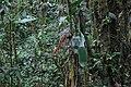 Pitcairnia arcuata (Bromeliaceae) (44189335020).jpg