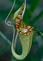 Pitcher Plant (Nepenthes rafflesiana) (13949639558).jpg