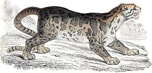 Sunda clouded leopard - Illustration published 1834 in William Jardine's The Natural History of The Feline
