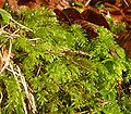 Plagiomnium undulatum 060108a.jpg