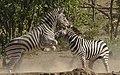 Plains zebra (common zebra or Burchell's zebra), Equus quagga at Kruger National Park, Limpopo, South Africa (48258301326).jpg