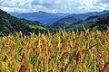 Plantación de arroz cerca de Caranavi - Bolivia.jpg
