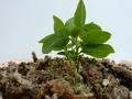 Planton de Erythrina-crista-galli.png