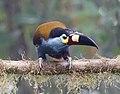 Plate-billed Mountain-toucan (47844233191).jpg