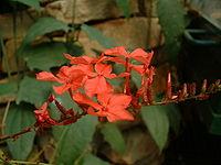 Plumbago rosea01