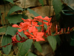 Description de l'image Plumbago rosea01.jpg.