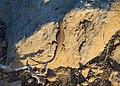Podarcis erhardii on Santorini.jpg