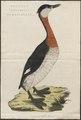 Podiceps grisegena - 1770-1829 - Print - Iconographia Zoologica - Special Collections University of Amsterdam - UBA01 IZ17800063.tif