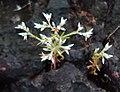 Polycarpaea corymbosa 08.JPG