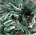 Polystichum acrostichoides 1zz.jpg