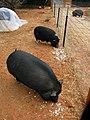 Popcorn pigs (4479261209).jpg