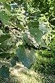 Populus grandidentata kz05.jpg