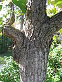 Populus lasiocarpa trunc 01 by Line1.JPG