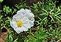 Portulaca grandiflora, Burdwan, 30032014 (6).jpg