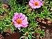 Portulaca grandiflora, Burdwan, 31032014 (3).jpg