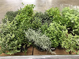 Potted culinary herbs