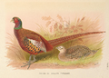 Prince of Wales's Pheasant by H. Jones.png