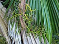 Pritchardia kaalae (4761480859).jpg