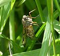 Probably Downlooker Snipefly, Rhagio scolopaceus - Flickr - gailhampshire (1).jpg
