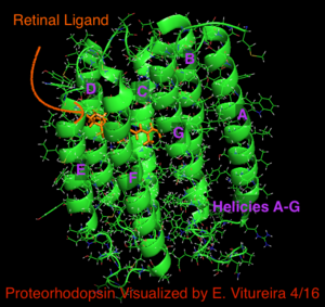 Proteorhodopsin - Image: Proteorhodopsin Cartoon Visualization E.Vitureira 4 16