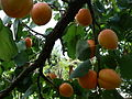 Prunus armeniaca E1.jpg