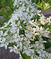Prunus mahaleb ssp. simonkaii - more blossoms.jpg
