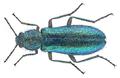 Psilothrix viridicoeruleus (Geoffroy in Fourcroy, 1785) (29250886996).png