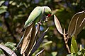 Psittacula krameri -Bangalore, India -male-8 (3).jpg