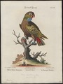 Psittacus sordidus - 1700-1880 - Print - Iconographia Zoologica - Special Collections University of Amsterdam - UBA01 IZ18600087.tif