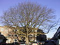 Pterocarya fraxinifolia R0014723.JPG