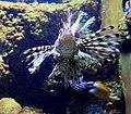 Pterois volitans Sea aquarium Malta 2014 2.jpg