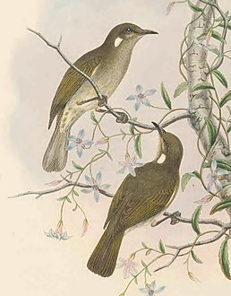 Ptilotis albonotata - The Birds of New Guinea (cropped).jpg