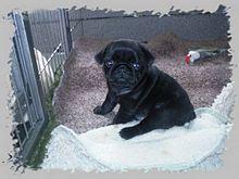220px-Pug-puppies-black-mops-welpen-schwarz dans CHIEN