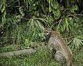 Puma concolor coryi.jpg