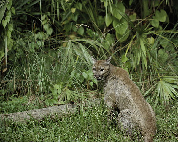 http://upload.wikimedia.org/wikipedia/commons/thumb/1/15/Puma_concolor_coryi.jpg/600px-Puma_concolor_coryi.jpg?uselang=ru