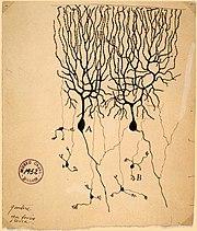 Dibujo de Santiago Ramón y Cajal de las neuronas del cerebelo de una paloma (A) Célula de Purkinje, un ejemplo de neurona bipolar (B) célula granular que es multipolar