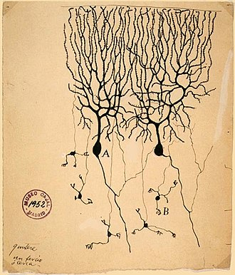 Action potential - Image of two Purkinje cells (labeled as A) drawn by Santiago Ramón y Cajal in 1899. Large trees of dendrites feed into the soma, from which a single axon emerges and moves generally downwards with a few branch points. The smaller cells labeled B are granule cells.