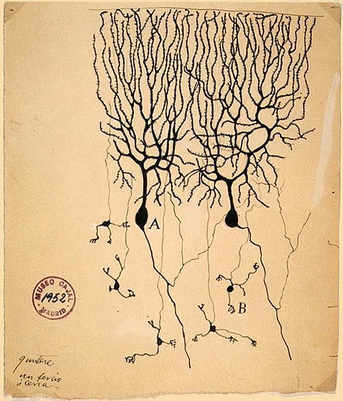 Drawing by Santiago Ramon y Cajal (1899) of neurons in the pigeon cerebellum PurkinjeCell.jpg