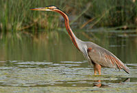 Purple Heron (Ardea purpurea) in Hodal W IMG 6600.jpg