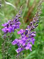 Purple Toadflax. Linaria purpurea. Scrophulariaceae - Flickr - gailhampshire.jpg
