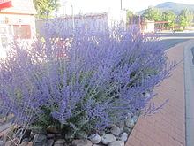 Purple flowering subshrub planted along road
