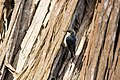 Pygmy Nuthatch - 4-11-15 - Fort Point, San Francisco, CA (17553748450).jpg