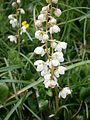 Pyrola rotundifolia RHu 03.JPG
