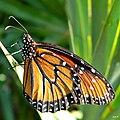 Queen Butterfly (Danaus gilippus) (6140342062).jpg