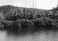 Queensland State Archives 2054 Sugar bananas on the banks of Currumbin Creek c 1934.png