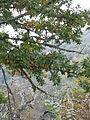 Quercus cerris Bosilegrad 2.JPG