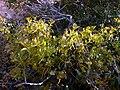 Quercus coccifera Roldan.jpg