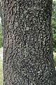 Quercus laevis (24224798305).jpg